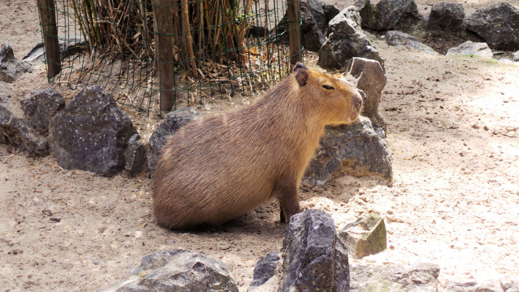 Capybara du Zoo de Maubeuge