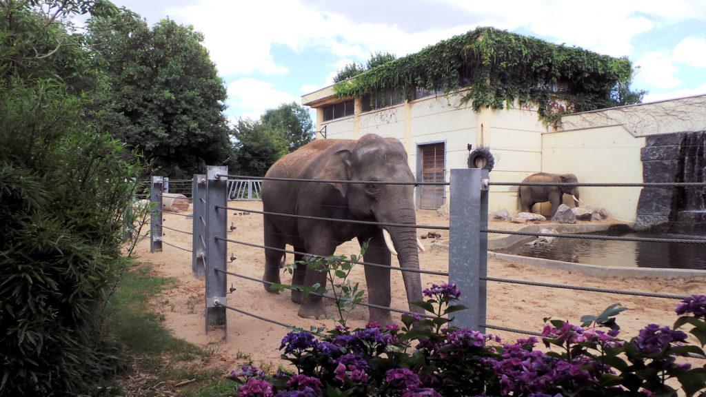 Éléphants d'Asie du Zoo de Maubeuge