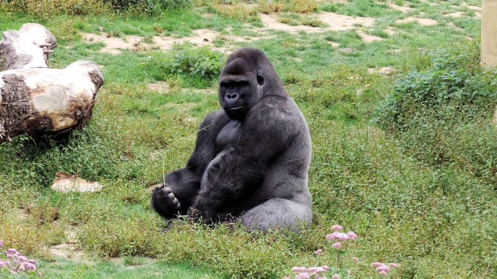 Pairi Daiza Gorille des hautes pleines