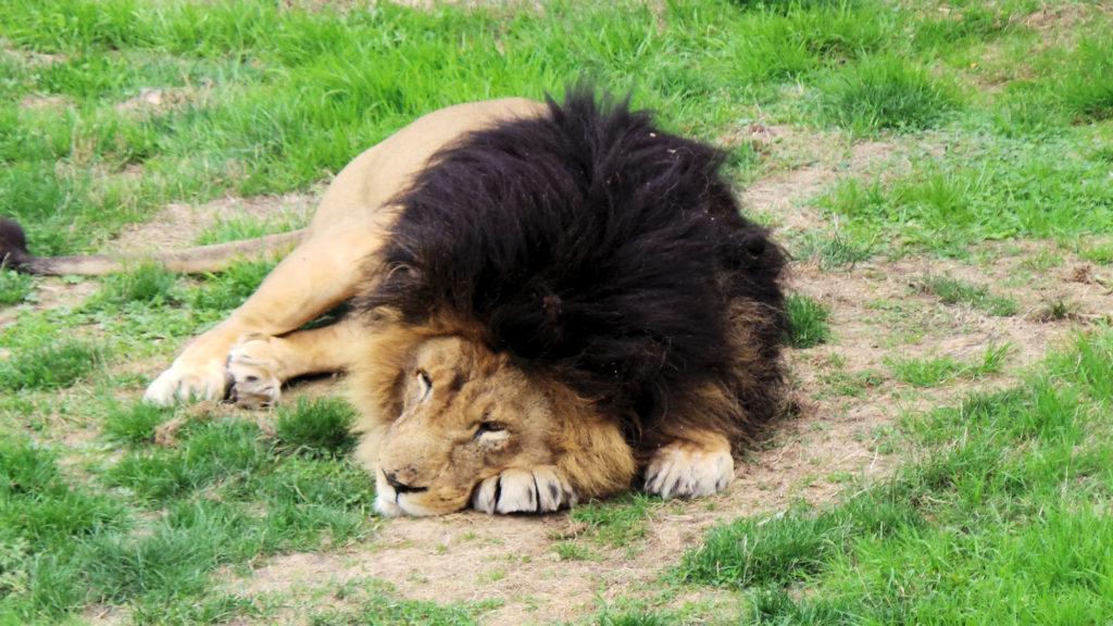 Pairi Daiza Lion